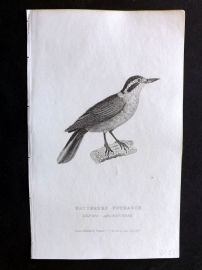 Cuvier C1830 Antique Bird Print. Natterers Nuthatch